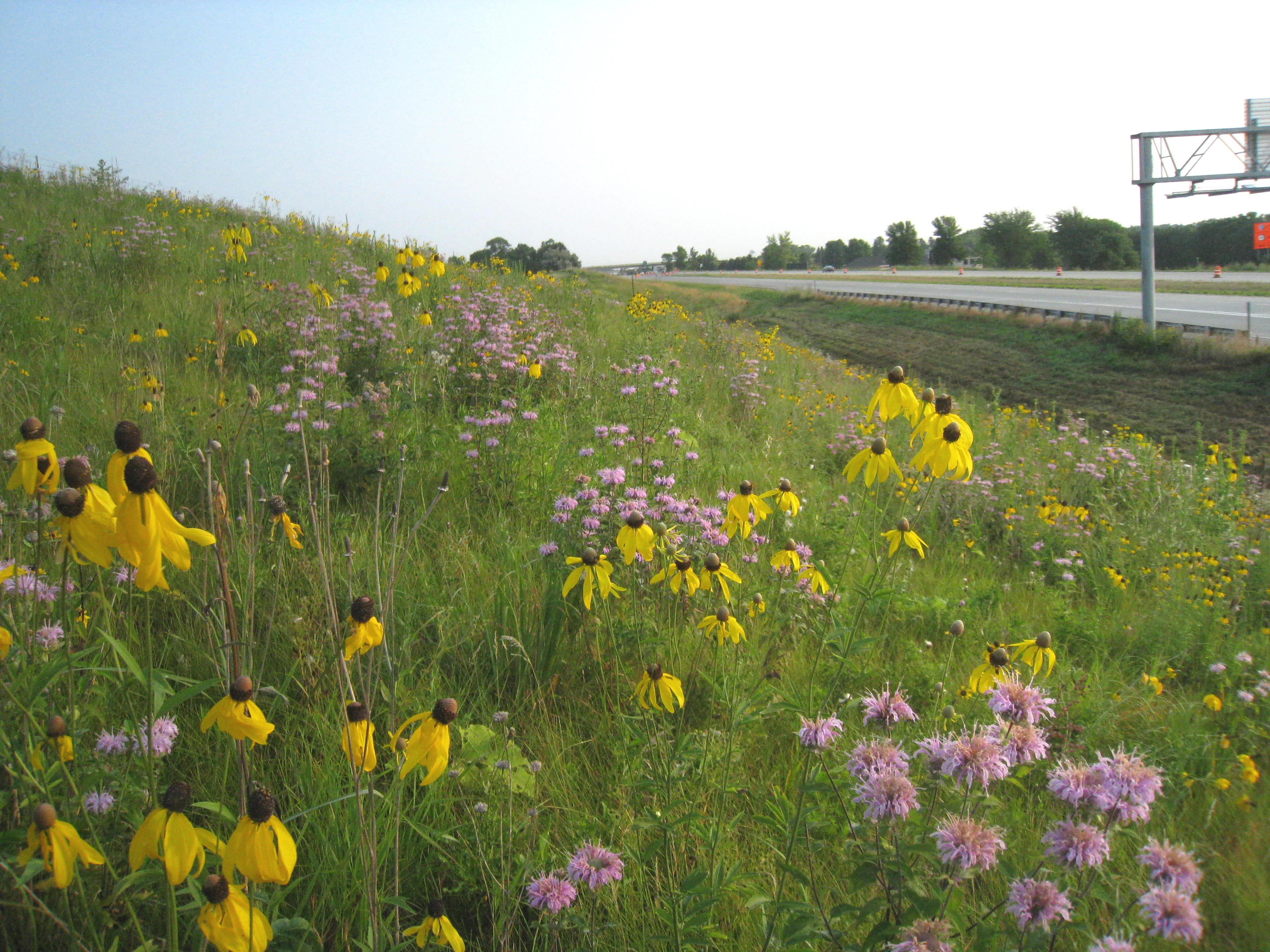 Wildflower growing in MnDOT right of way along side a highway